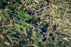 agriturismo-barba-olive